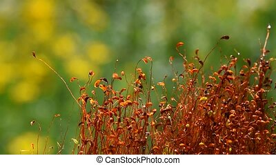 Moss dance movement after rain drops - Common brown haircap...