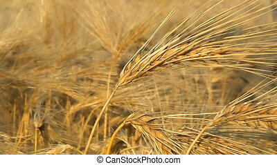 Ripe oats in the field, agriculture and rural life, the harvest of the field.