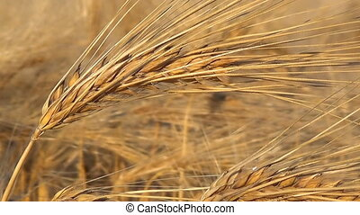 Ripe oats in the field, agriculture and rural life, the...