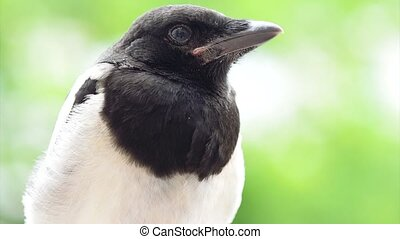 Magpie on board fence - The close view of the nestling of...