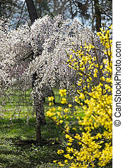 Explosion of spring with blooming trees - Nature blooming in...