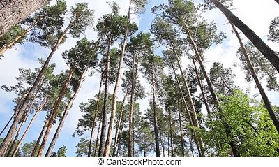 A down view of the pine trees