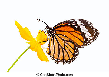 Monarch butterfly seeking nectar on a flower on white...