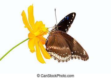 Beautiful butterfly seeking nectar on a flower on white...