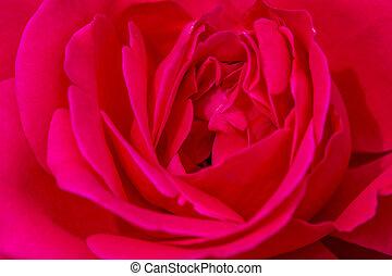 Macro Rose Blooms in Garden