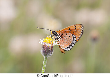 Monarch Butterfly perched on a flower