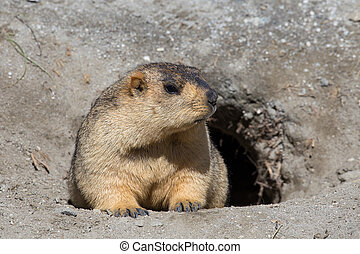 Funny marmot in nature. Ladakh, India - Funny marmot peeking...