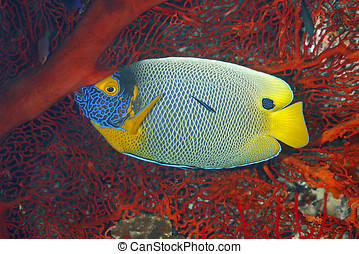 Blueface Angelfish, Pomacanthus xanthometopon Also known as...