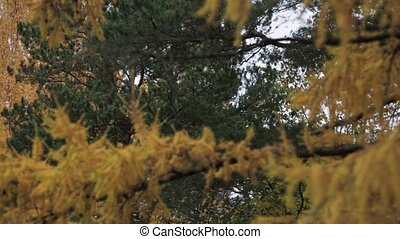 Coniferous tree with yellow leaf in autumn day. Park. Green...