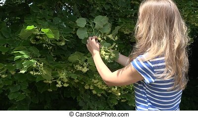 herbalist blond woman pick linden flowers herbs from tree...