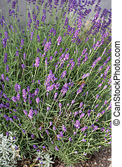 Garden with the flourishing lavender