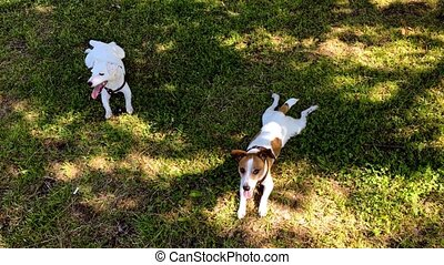 Two jack russel terriers sitting in green grass