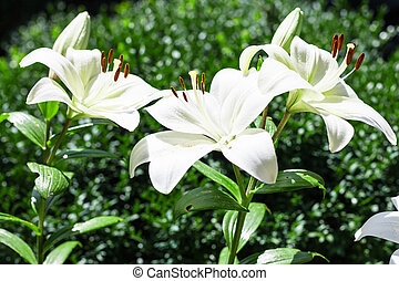few white flowers of Lilium in green garden - few white...