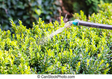 processing of boxwood bushes by pesticide in garden in...