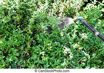 spraying insecticide on boxwood bushes in garden in summer...