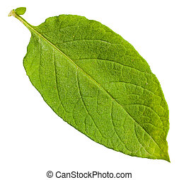 green leaf of potato plant isolated on white