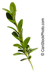 green twig of buxus (boxwood, box, box-tree) plant isolated...
