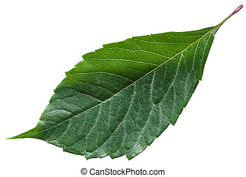 green leaf of Parthenocissus plant isolated - green leaf of...