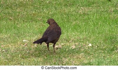 Blackbird pecking at a fallen pear. - Blackbird pecking at a...