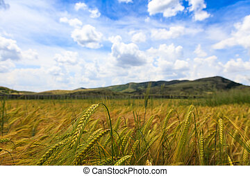 Wheat fields with blue sky and white fluffy clouds