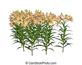 Asiatic Lily - Illustration of an asiatic lily (raytraced...