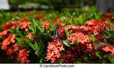 butterfly in rape-seed flowers