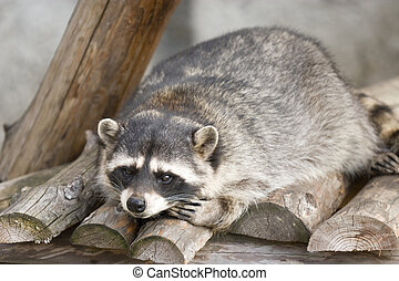 Funny raccoon lying on logs