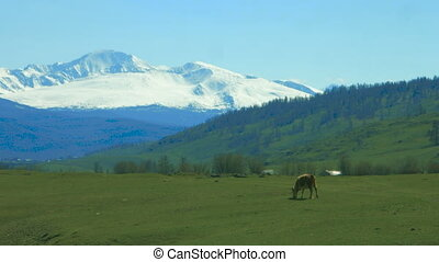 Cow on pasture in mountains. - Cow on pasture in Altay...