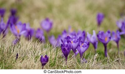 Crocus flowers field - Violet crocus flowers field at spring...