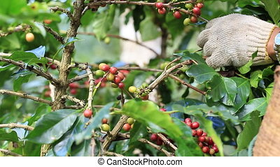 Farmer harvesting coffee beans - Ripe cherries Coffee Beans...