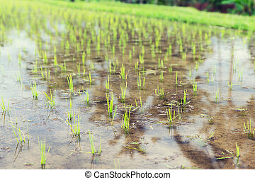 rice field at plantation in asia - agriculture, planting and...