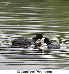 Coot rallidae fulica water bird family swimming on lake with...