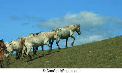 Wild Horses Running On Mountain Hills In Altay Mountains