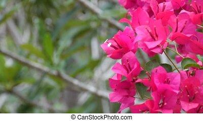 Bougainvillea pink color with wind - Beautiful bougainvillea...