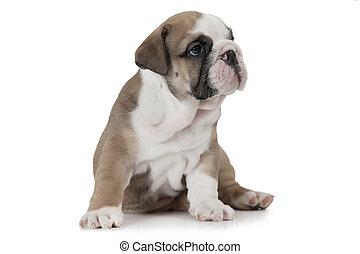 English Bulldog isolated on white
