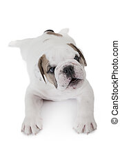 Six weeks old English Bulldog puppy - Top view of six weeks...