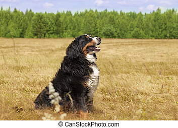 Bernese Mountain Dog Berner Sennenhund - Bernese Mountain...