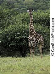 giraffe during safari in south africa - giraffe during...