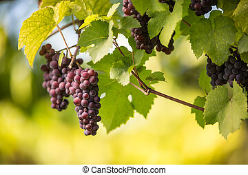 Large bunches of red wine grapes hang from an old vine in...