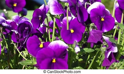 Violet pansy (viola tricolor) - Group of three bright violet...