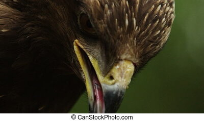 Close up view of a golden eagle (Aquila chrysaetos) head.