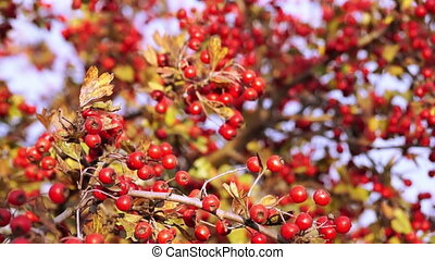 Hawthorn in Autumn on a Sunset - Crataegus Commonly Called...