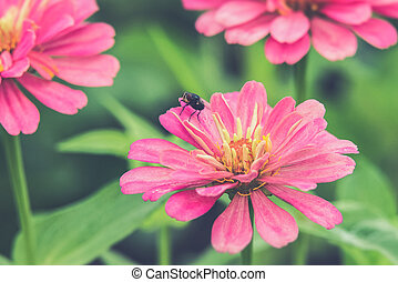 Hover flies on pink Zinnia Vintage filter effect used