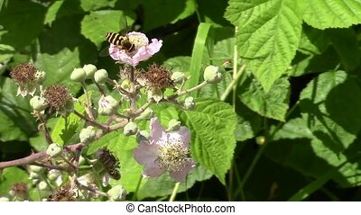 Hover fly feeding on blackberries. - Hover fly feeding on...