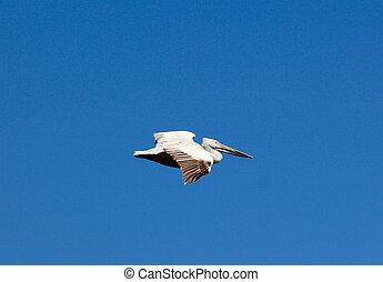 Dalmatian Pelican,Pelecanus crispus in flight - Picture of a...