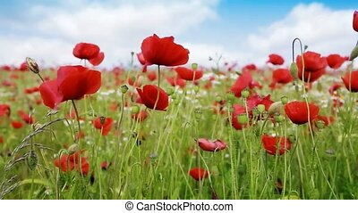 Field of red poppies. - Red poppies against the blue...