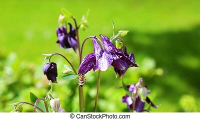 Columbine flower with bumble bee. - Purple Columbine...
