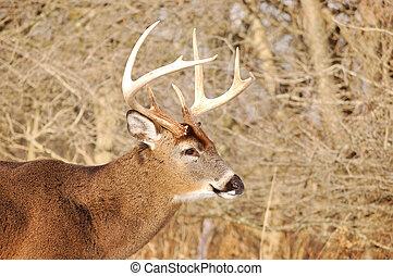 Whitetail Deer Buck - Head shot of a whitetail deer buck at...