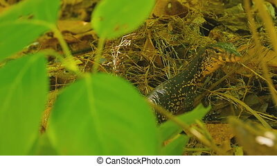 Varanus salvator macromaculatus - Small water monitor -...