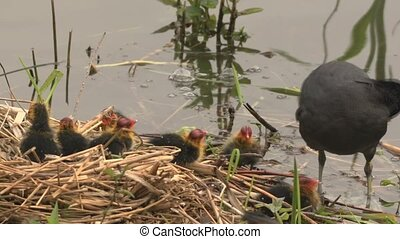 black coot with hatchlings